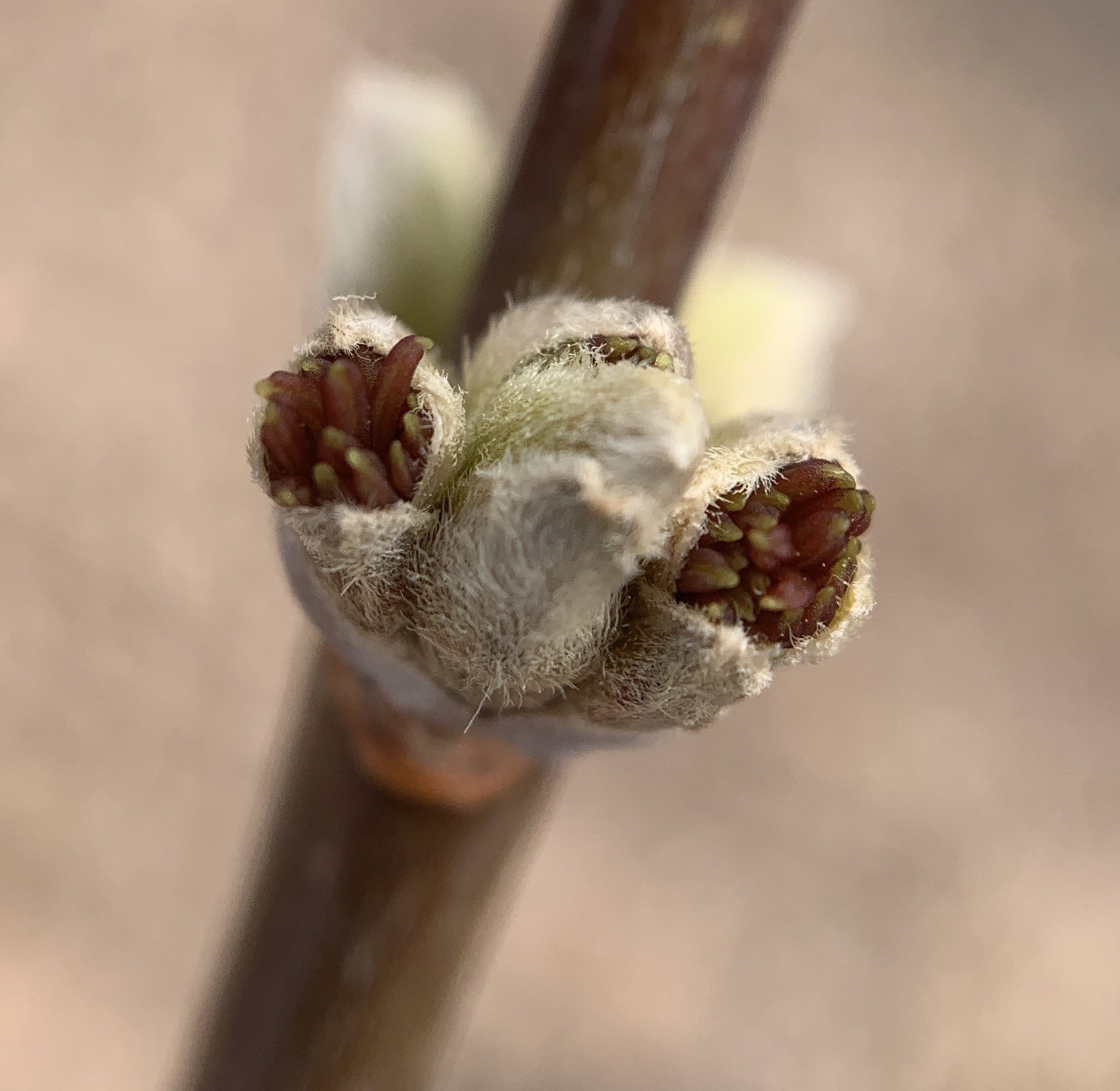 boxelder flower with stamens just protruding from the bud.